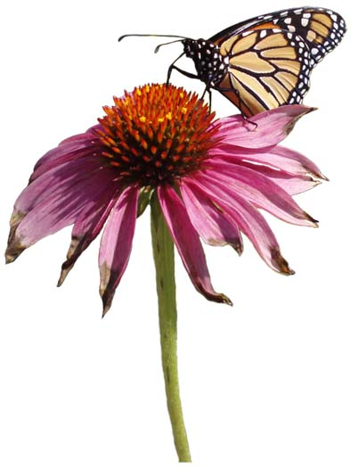COB monarch on coneflower lorez.jpg