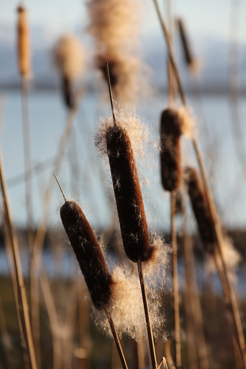 Cattail Reed