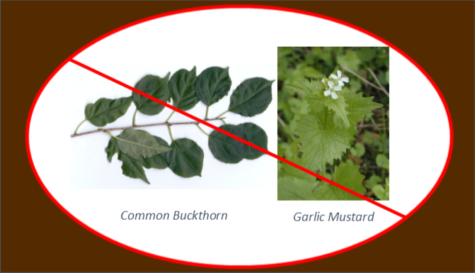 No buckthorn or garlic mustard