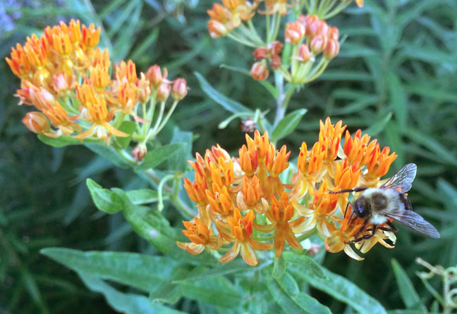 Bumble on butterfly milkweed