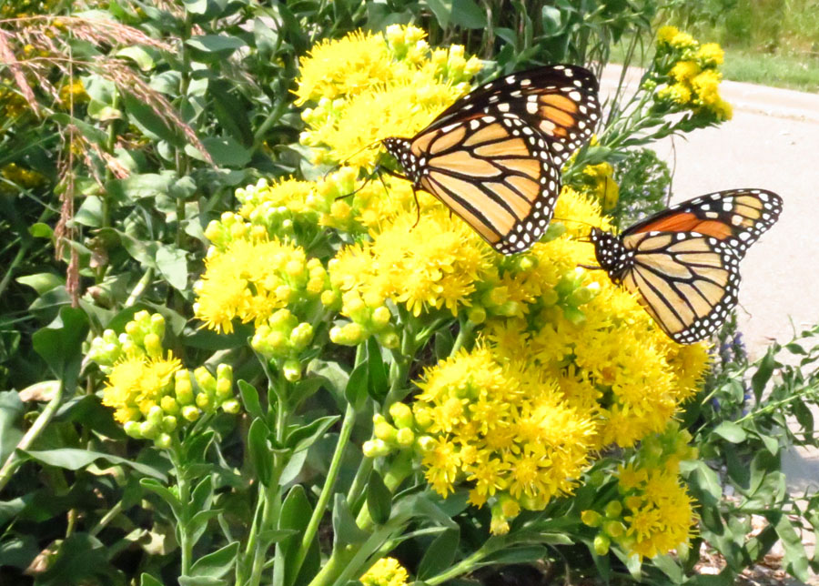 Monarch on solidago
